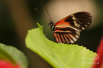 Butterfly Curling Edge Of Leaf Art Print by Max Allen