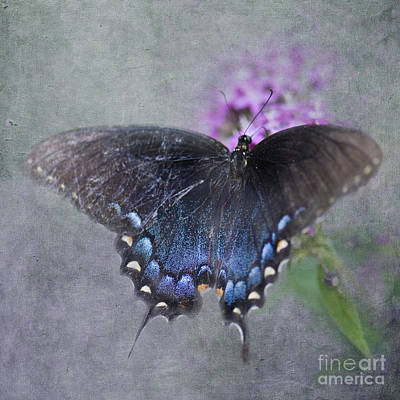 Pipevine Swallowtail Butterfly Photograph - Butterfly Dance by Betty LaRue