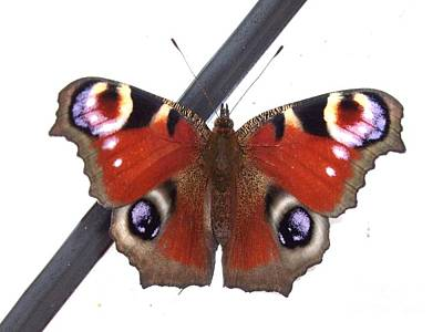 Butterfly Art Print by Deborah Brewer
