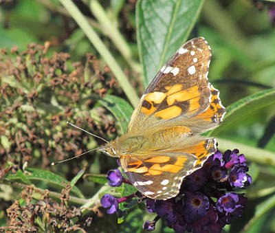 Photograph - Butterfly Details by Bonnie Muir