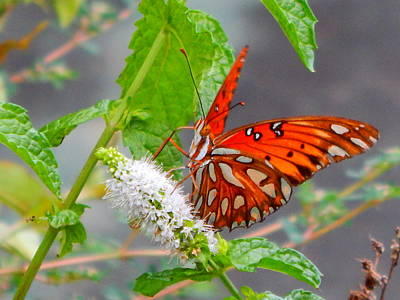 Photograph - Butterfly Dining On Mint Blossom by Virginia Kay White