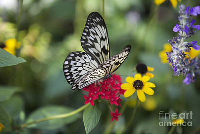 Large Tree Nymph Photograph - Butterfly Dream by Carol Groenen