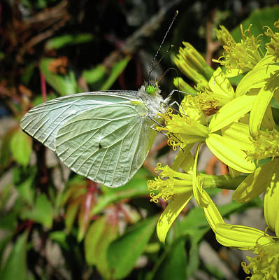 Photograph - Butterfly Feasting On Yellow Flowers by Michael Niessen