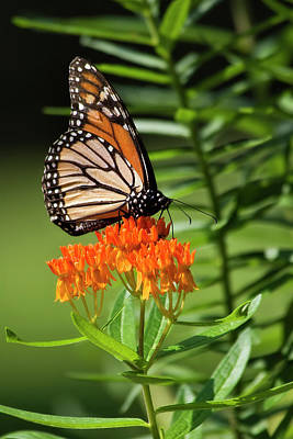 Photograph - Butterfly Feeding On Milkweed by Jill Lang