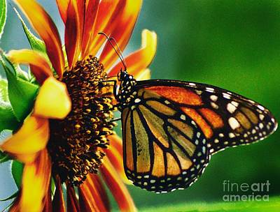 Photograph - Butterfly Feeding On Sunflower  by Paul Wilford