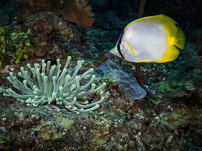Photograph - Butterfly Fish At Cleaning Station by Jean Noren