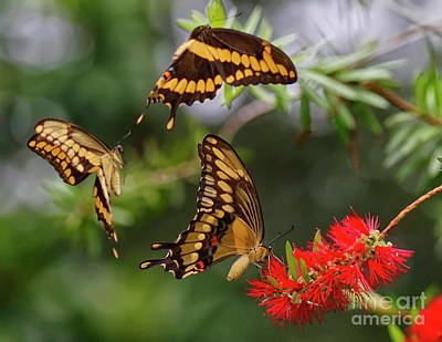 Photograph - Butterfly Flutter By by Myrna Bradshaw