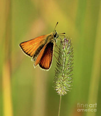 Photograph - Butterfly From The Prairie by Ann E Robson