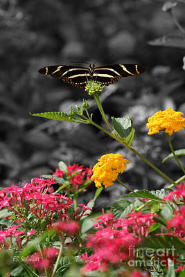 Art Print featuring the photograph Butterfly Garden 05 - Zebra Heliconian by E B Schmidt