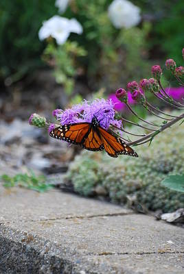 Photograph - Butterfly Garden by Ramona Whiteaker