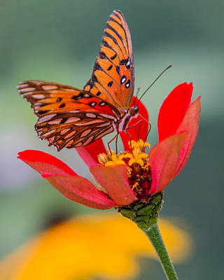 Photograph - Butterfly Gulf Fritillary by Patti Deters