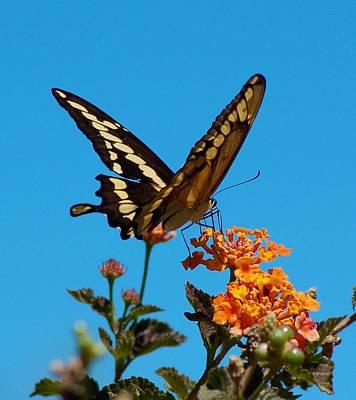 Butterfly II Art Print by Susan Heller