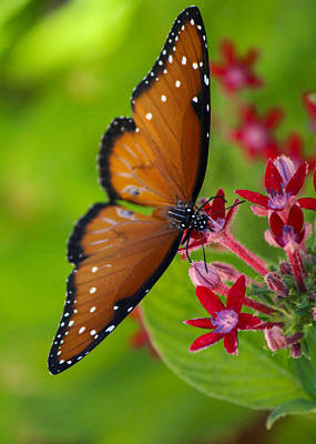 Photograph - Butterfly In Bloom by Lauren Lang