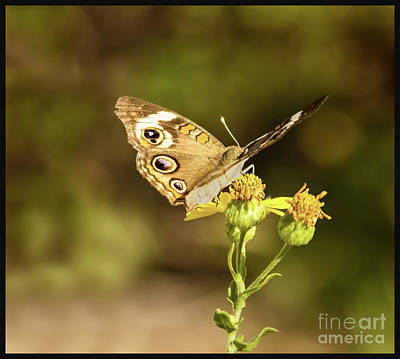 Photograph - Butterfly In Bokeh by Steven Parker