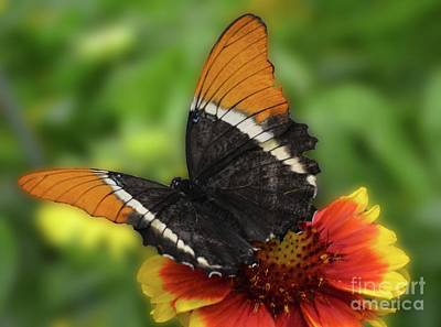 Photograph - Butterfly In Brown by Cindy Manero