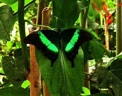 Photograph - Butterfly In Green by Laura Greco