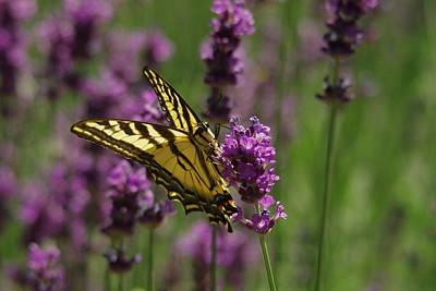 Little Critters Photograph - Butterfly In Lavender by Jeff Swan