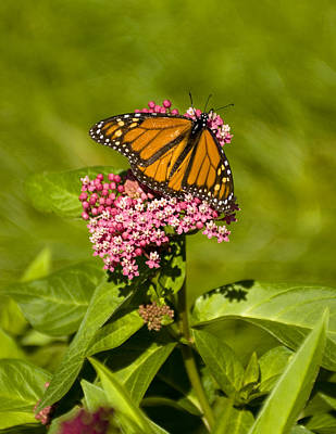 Photograph - Butterfly In Spring by Peter Skiba
