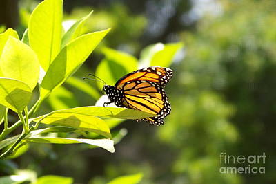 Art Print featuring the photograph Butterfly In Sunlight by Carol  Bradley