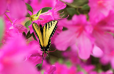 Photograph - Butterfly In The Azaleas by Philip Rispin