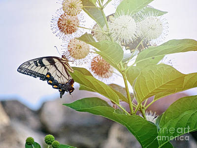 Photograph - Butterfly In The Sunlight by Melissa Messick