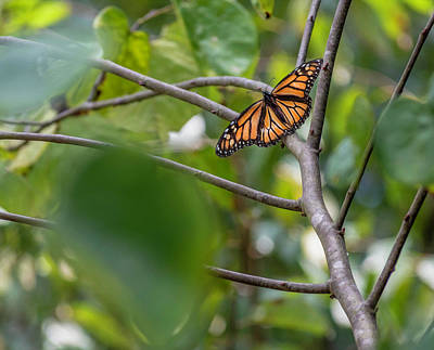 Photograph - Butterfly In Tree by Keith Smith