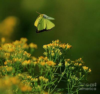 Blue Swallowtail Photograph - Butterfly-ing by Robert Pearson