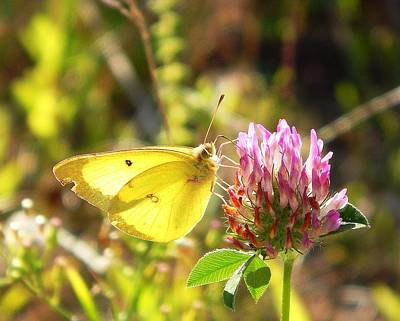 Colias Philodice Photograph - Butterfly Kisses by Karen Cook