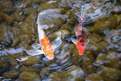 Butterfly Koi Photograph - Butterfly Koi by Deborah Irving