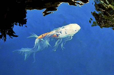 Photograph - Butterfly Koi In Blue Sky Reflection by Kirsten Giving