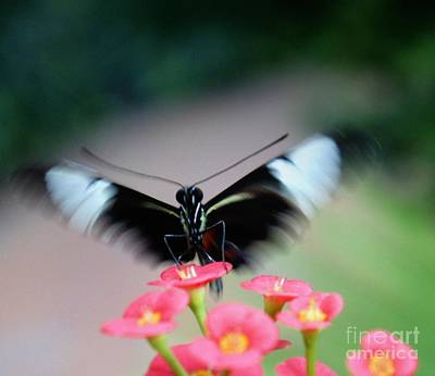 Photograph - Butterfly Landing by Lilliana Mendez