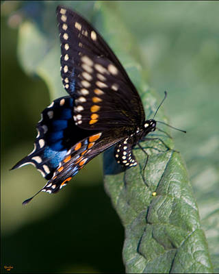 Photograph - Butterfly Laying Eggs by Chris Lord