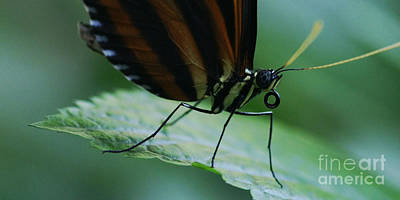 Photograph - Butterfly Leaf by Linda Shafer