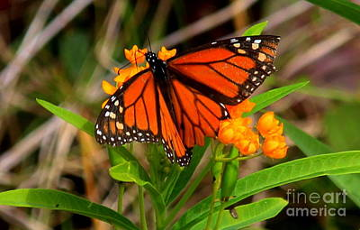 Photograph - Butterfly by Lennie Malvone