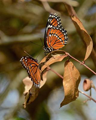 Photograph - Butterfly Love Is In The Air by Carol Bradley