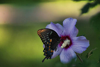 Photograph - Butterfly Lunch by Rick Friedle
