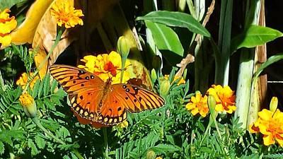 Photograph - Butterfly Marigold by Louis Jones