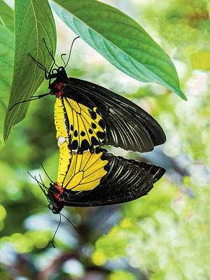 Photograph - Butterfly Mating by William Bitman