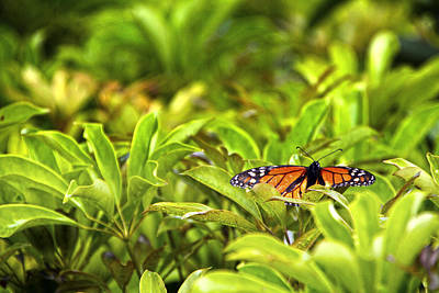 Photograph - Butterfly Maui by Waterdancer
