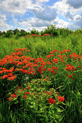 Photograph - Butterfly Milkweed On Glacial Park Hillside by Ray Mathis