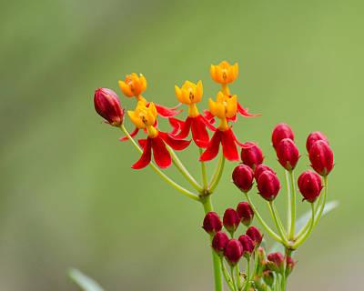 Photograph - Butterfly Milkweed by Stephanie Maatta Smith