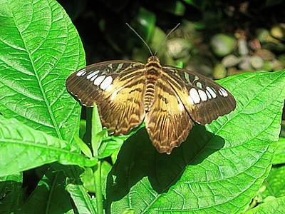 Antenna Photograph - Butterfly Of Brown Wings On Green  by Mario Perez