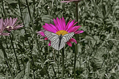 Digital Art - Butterfly On A Camomile by Tatiana Tyumeneva