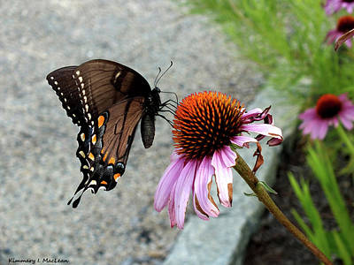 Photograph - Butterfly On A Coneflower by Kimmary I MacLean
