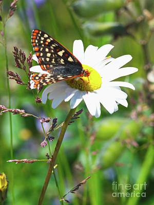 Photograph - Butterfly On A Wild Daisy by Ansel Price