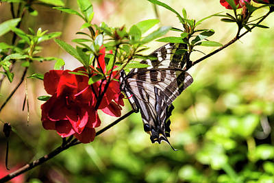Photograph - Butterfly On An Azalea by Belinda Greb
