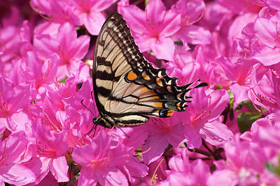 Photograph - Butterfly On Azaleas by Jill Lang