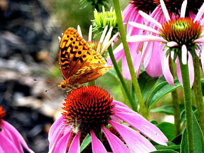Photograph - Butterfly On Coneflowers by Beth Akerman
