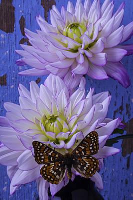 Butterfly On Dahlia Art Print