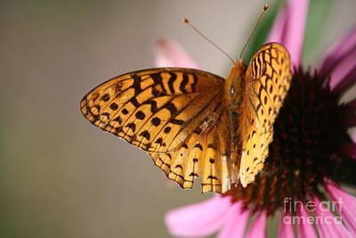 Photograph - Butterfly On Daisy by Mary-Lee Sanders